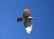 Another flight shot of the juvenile Gray Hawk at Tubac, Santa Cruz County, Arizona on 21 April, 2015.