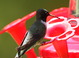 This male Black-chinned Hummingbird was at Santa Rita Lodge in Madera Canyon, Santa Cruz County, Arizona on 19 April 2015. We saw remarkably few Black-chinneds at feeders during the weeks. Many native plants, most notably ocotillo, were in full bloom during our visit and it seemed that most hummers were enjoying the natural bounty and staying away from artificial food sources.