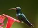 In addition to having a colorful bill, adult male Broad-billed Hummingbirds show iridescent colors that seem to include every imaginable tone of green, blue, and purple. When you see one in bright sunlight, each individual is somewhat unique in appearance.