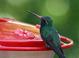 Broad-billed Hummingbirds kept cooperating, so I kept taking pictures.