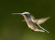 Female Black-chinned Hummingbirds are superficially very similar to a number of other species with green backs and pale to white underparts. Look for the constant tail-pumping while this bird feeds and listen or its rather incessant junco-like chipping.