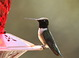 This species is aptly named. When the sun it hits it just right, the throat of this bird is a beautiful iridescent violet, but under most viewing conditions the male's gorget will appear black, as it does here.