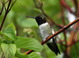 This adult male Black-chinned Hummingbird  was around Malheur NWR headquarters throughout the Memorial Day Weekend of 2015.