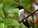 Adult male Black-chinned Hummingbird at Malheur NWR headquarters (May 2015).