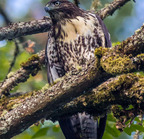 Red-tailed_hawk-8-12-15