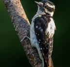 Downy_woodpecker-0391-edit