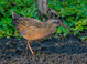 Virginia Rail taken by Dan Mitchell in Jurgens Park, Tualatin, Oregon on 8/22/15.