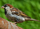 House Sparrow taken by Dan Mitchell in our backyard in Tigard, Oregon on 8/28/13.