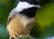 Black-capped Chickadee taken by Dan Mitchell in our Backyard in Tigard, Oregon on 9/11/15
