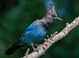 Steller's Jay taken by Dan Mitchell in our backyard in Tigard, Oregon on 9-10-15