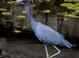 Little Blue Heron taken by Dan Mitchell in Sun City Center, Florida on 1/22/12
