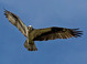 Osprey taken by Dan Mitchell in Page Springs, Arizona on 4/16/13