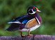 Wood Duck taken by Dan Mitchell in our backyard in Tigard, Oregon on 9/23/15