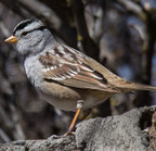 White-crowned sparrow-4331-edit