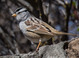 White-crowned Sparrow taken by Dan Mitchell in Mahleur National Wildlife Refuge, Oregon on 4/22//13.