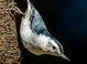 White-breasted Nuthatch taken by Dan Mitchell in our backyard in Tigard, Oregon on 10/3/15.