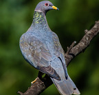 Band-tailed pigeon- 10-03-15 1910-edit