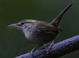 Bewick's Wren taken by Dan Mitchell in our backyard in Tigard, Oregon on 10-30-15.