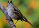 Golden-crowned Sparrow taken by Dan Mitchell in our backyard in Tigard, Oregon on 11/10/13.