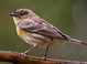 Yellow-rumped Warbler taken by Dan Mitchell in our backyard in Tigard, Oregon on 12/25/2015.