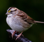 White-throated sparrow 12-12-12 (3 of 13)-edit