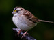 White-throated Sparrow taken by Dan Mitchell in our backyard in Tigard, Oregon on 12/12/12.