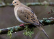 Mourning Dove taken by Dan Mitchell in our backyard in Tigard, Oregon on 12/05/2015.