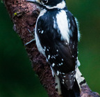 Downy woodpecker-12-07-14 1432