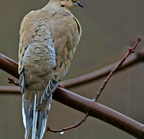 Mourning dove 12-26-2006