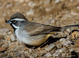Black-throated Sparrow taken by Dan Mitchell at Catalina State Park, Arizona on 12/25/15.