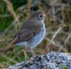Hermit thrush-3142-edit