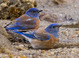 Western Bluebirds taken by Dan Mitchell in Catalina State Park, Arizona on 12/23/15.