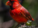 Northern Cardinal taken by Dan Mitchell at Koko Crater Botanical Garden, Oahu, Hawaii on 3/17/2014.