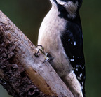 Downy woodpecker 01-09-16