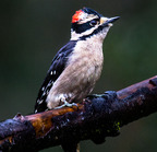 Downy woodpecker-1-22-16 5539-edit