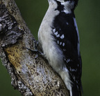 Downy woodpecker-02-27-16 5767-edit