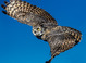 Great Horned Owl taken by Dan Mitchell at Flying Demonstration at Arizona Sonoran Desert Museum in Tucson, Arizona on 12/26/2016.