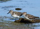 Here is a nice comparative shot of an alternate-plumaged adult Western Sandpiper (right) and an after hatch-year Semipalmated Sandpiper (left). Note the shorter more blunt-tipped bill of the Semi along with the lack of any rufous in the plumage.