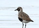 "This is a classic ""fooler."" Birders commonly misidentify birds of this appearance as golden-plovers due to the amount of brown on the back, nape and crown, but this is in fact a transitioning Black-bellied Plover. This bird was photographed on Clatsop Beach 23 April 2016. Within a few weeks this bird will loose the brown feathering on the crown nape and back and look more like the bird in the next image."