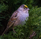 Golden-crowned sparrow - 2-20-2011 tigard_9515-edit