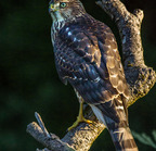 Sharp-shinned hawk- 08-02-2016 7945-edit