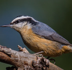 Red-breasted nuthatch-11-23-2016 8783-edit