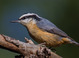 Red-breasted Nuthatch taken by Dan Mitchell in our backyard in Tigard, Oregon on 11/23/2016.