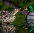 Mallard couple-02-25-2016 5749-edit