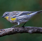 Yellow-rumped warbler-10-25-2016 9596-edit