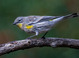 Yellow-rumped Warbler taken by Dan Mitchell in our backyard in Tigard, Oregon on 10/25/2016.