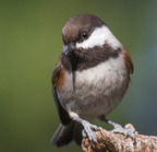 Chestnut-backed chickadee-8809-11-23-2013