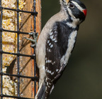 Downy woodpecker-5734 -  2-24-2016