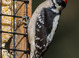 Downy Woodpecker taken by Dan Mitchell on 02/24/2016
