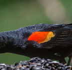 Red-winged blackbird -6884 5-12-16